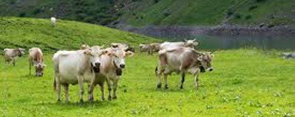 alpenweide+koeien